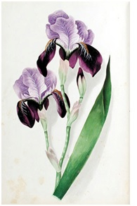 Iris by C. M. Badger Original watercolor leaf from Forget-Me-Not: Flowers from Nature with Selected Poetry (1848)
