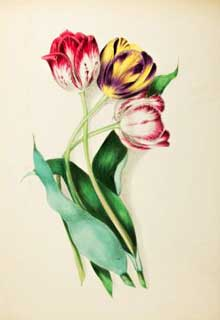 Lithograph of tulips from Floral Belles from the Green-House and Garden (1867)